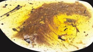 來自緬甸的琥珀中首次發現保存完好的渾身長毛的恐龍尾化石。
