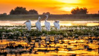 Pelicans-at-sunrise-searching-for-fish on-the-wetlands-of-the-Danube- delta-in-Romania.