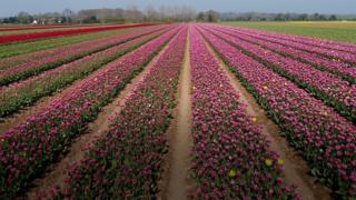 Pink tulips in a west Norfolk field