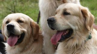 Golden retrievers at Guisachan, near Tomich