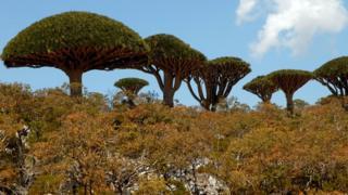 أشجار جزيرة سقطري، صورة ترجع إلى 27 مارس/آذار 2008
