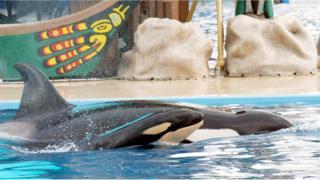 A newborn baby killer whale swims with it's mother Kasatka on December 21, 2004 at Shamu Stadium at SeaWorld Stadium in San Diego,