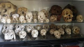 A cabinet with about 30 skulls on two shelves