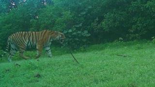 India man-eating tigress