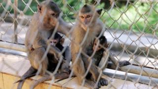 Việt Nam, động vật hoang dã, khỉ, bảo tồn