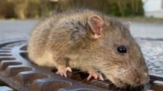 उंदीर
