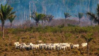science Cattle graze in the Amazon basin