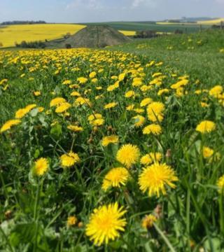 Dandelion plants in a field