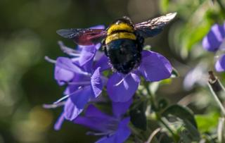 A Carpenter bee flies to a Fynbos flower in Cape Town, on 24 April.