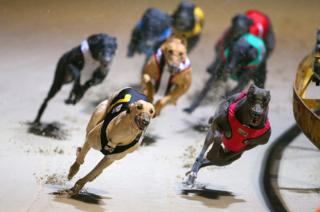 Greyhound dogs racing at the Wentworth Park Stadium