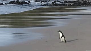 Fiordland pengueni
