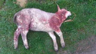 Dead lamb at Woodland House Farm, Bishop Auckland