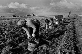 Potato picking, John O'Groats