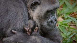 Bahasha holding baby gorilla