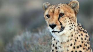 Endangered cheetahs can return to Indian forests - court