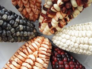 Tipos de milho peruanos