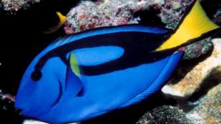 Голубой (флаговый) хирург (Paracanthurus hepatus)