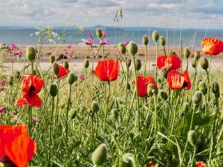 Poppies by the beach at Longriddry Bents