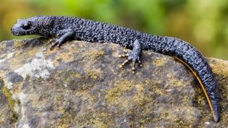 The great crested newt is found throughout Europe. It is a protected species in the United Kingdom