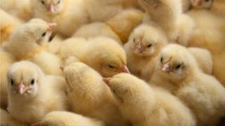 Stock image of one-day old baby chickens