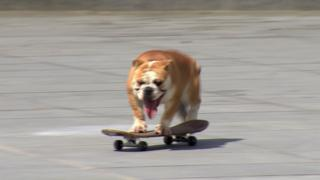 Victor the skateboarding bulldog