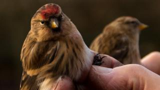 science Two lesser redpolls gently held after leg tagging