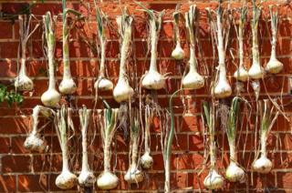 Onions hanging by a wall