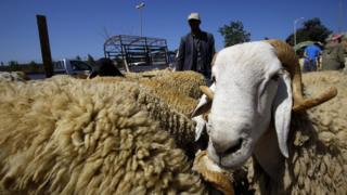 Sheep for sale in Algiers before Eid al-Adha