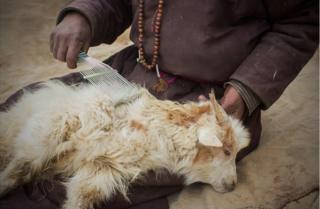 A shepherd runs a comb through the hair of a Changra goat