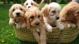 Litter of cockapoo puppies
