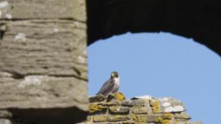 Peregrine falcon at Threave