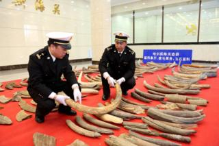Picture of mammoth tusks seized in Heilongjiang province in China on 11 April 2017