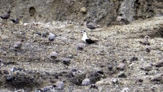 Sooty terns are nesting in the gullies around the crater lake.