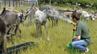 reindeer sprayed with water