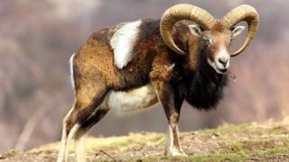 Муфлон, род баранов, ближайший родственник домашней овцы