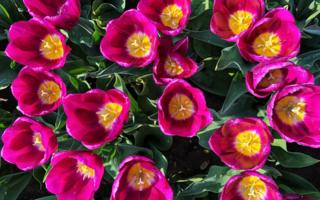 Close up of pink and yellow tulips
