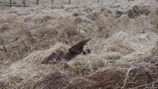 Dead hen harrier
