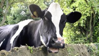 Корова в Дорсете