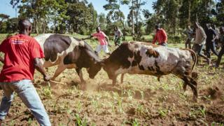 Bulls starting to fight during a match in western Kenya
