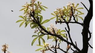 Цвітіння каштану