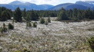 in_pictures Bog cotton in the Cairngorms