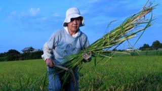 Japanese agricultural worker in a rice field