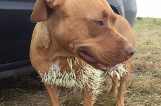 Mahalo was hurt after an encounter with a porcupine