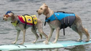Two dogs on a surfboard