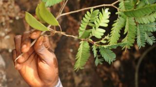 Árvore tropical da Guiné