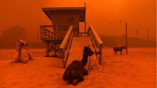 Llamas are tethered on beach as whole skyline tints red