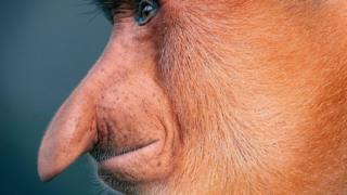 Macaco-narigudo
