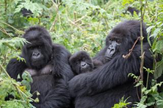 Imagem mostra dois gorilas adultos e um filhote na floresta