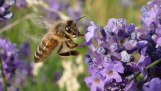 A bee gathering nectar from a purple flower