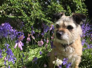 Dora the dog in the bluebells